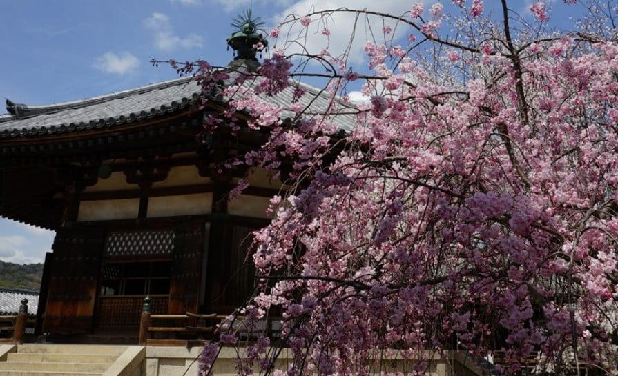 奈良 法隆寺の夢殿の前「しだれ桜」